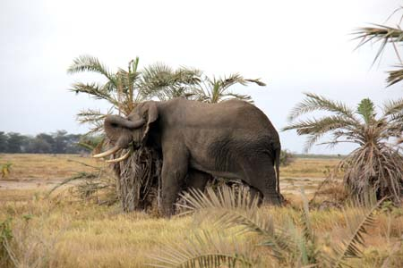 a Picture of an Elephant, scratching its ear, Masai Mara, Kenya
