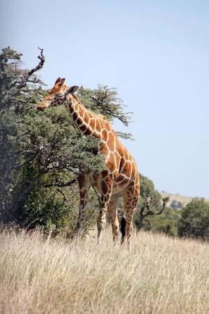 a Picture of a Giraffe, Masai Mara, Kenya