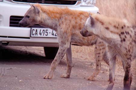a Picture of a Hyennas amongst our Safari Vehicles, in Masai Mara, Kenya
