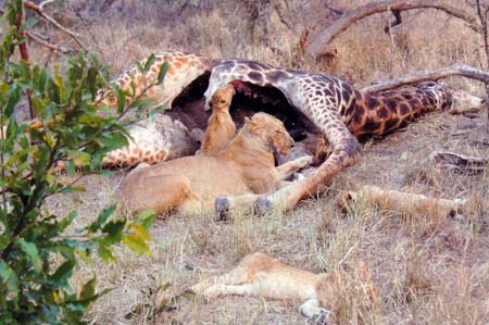 Picture of Lions eating Giraffe kill - Kruger, South Africa