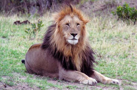 a Picture of a Male Lion, in Masai Mara, Kenya