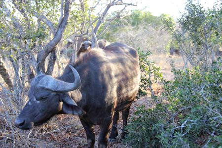 a Picture of Water Buffalo, in Tangala, Kruger, South Africa