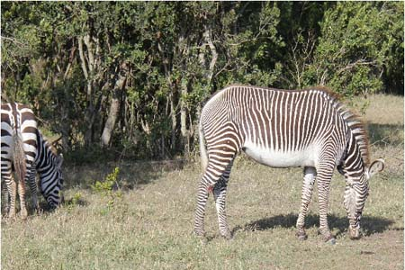 a Picture of Both a Common and a Grevy's Zebra, taken in Sweetwaters, Kenya