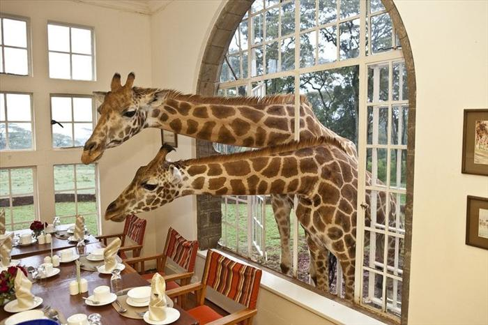 Graphic of Giraffe poking head into 2nd floor dining room