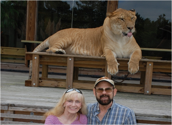 a Picture of Dave and Joany in front of an 1100 pound Liger