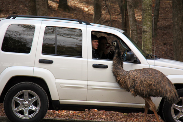Emu trying to get into a car, for food