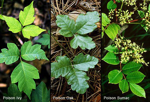 a Picture of Poison Oak, Ivy and Summac